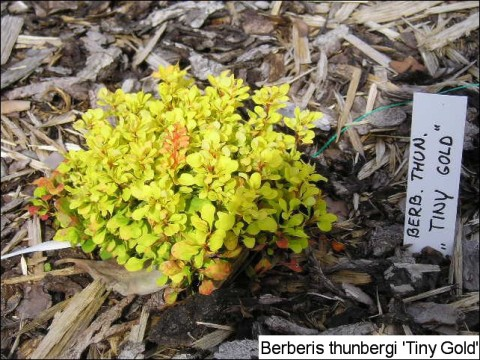 Berberis thunbergii 'Tiny Gold®'