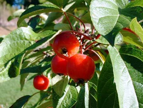 Malus hyb. 'Evereste®'
