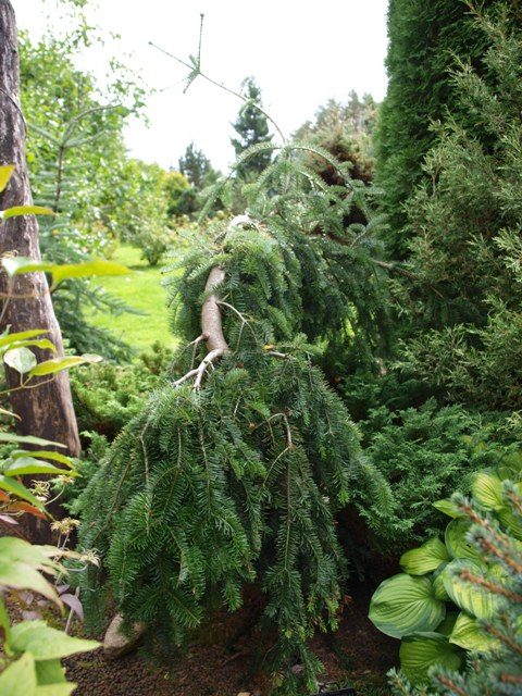 Abies alba 'Green Spiral'
