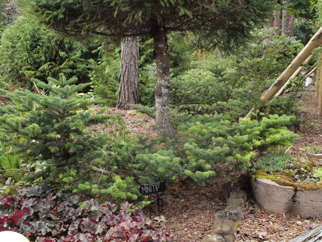 Abies cephalonica 'Minitip'