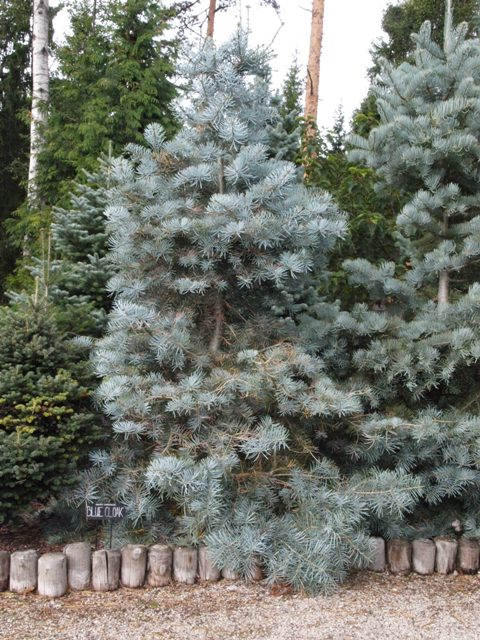 Abies concolor 'Blue Cloak'