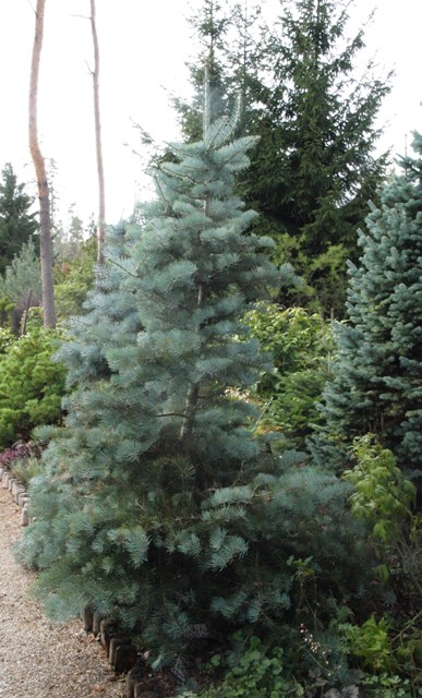 Abies concolor 'Wattezii Prostrate'