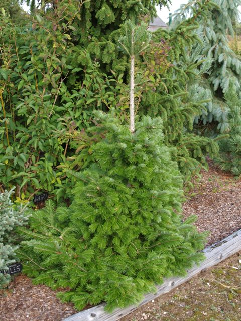 Abies sibirica 'Suncrest'