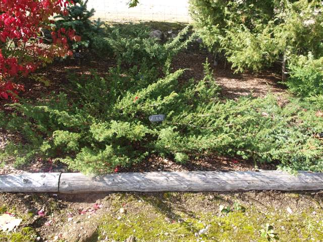 Juniperus communis 'Green Ace'