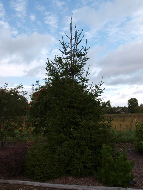 Picea abies 'Finedonensis'