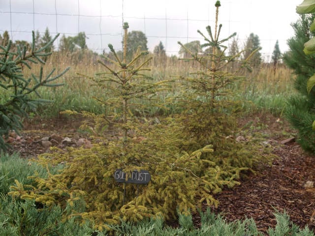 Picea abies 'Gold Dust'