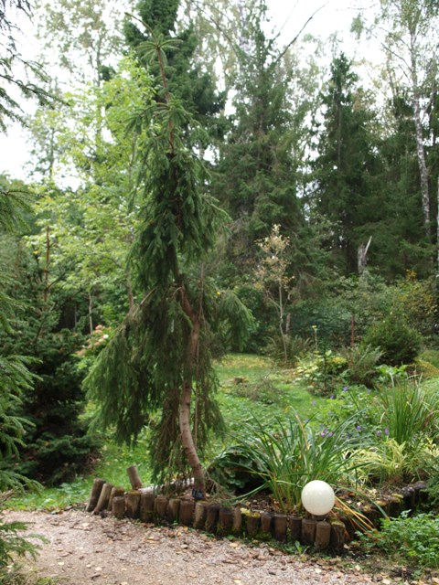Picea abies 'Lac Lemans'