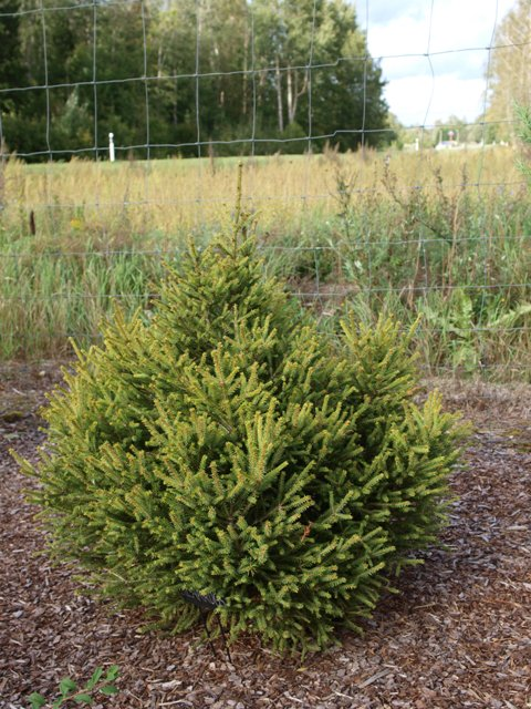 Picea abies 'Silakrogs'
