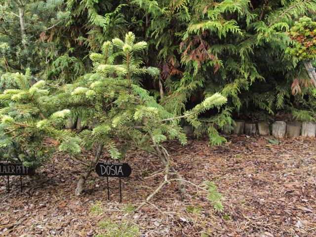 Picea pungens 'Dosia'