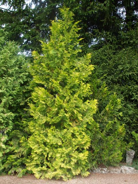 Thuja occidentalis 'Barabits Gold'