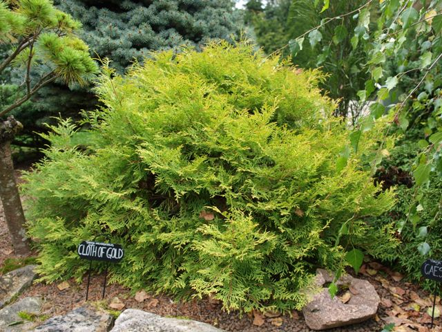 Thuja occidentalis 'Cloth of Gold'