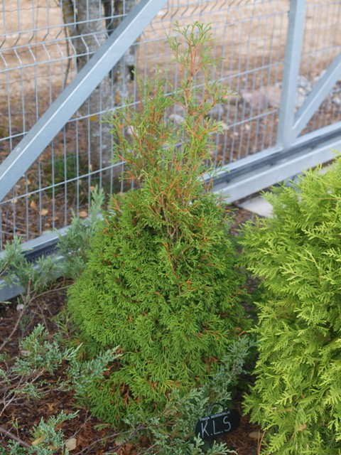 Thuja occidentalis 'K.L.S'