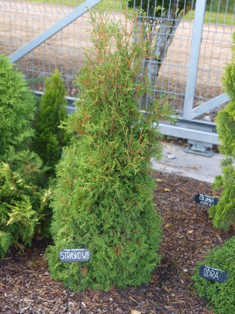 Thuja occidentalis 'Strasko W.B'