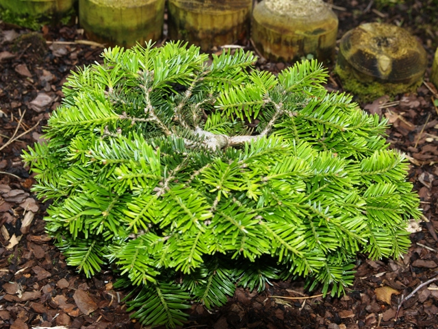 Abies alba 'Barabits Spreader'