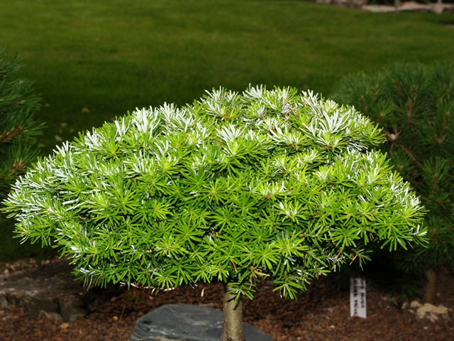 Abies koreana 'Kristallkugel'