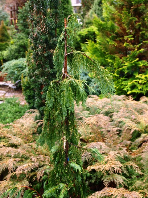 Chamaecyparis lawsoniana 'Green Arrow'
