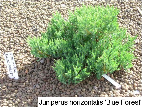 Juniperus horizontalis 'Blue Forest'