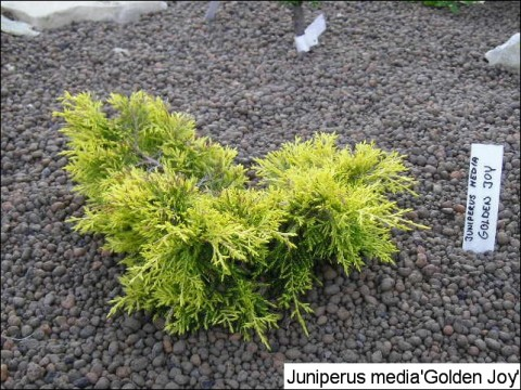 Juniperus x media 'Golden Joy'