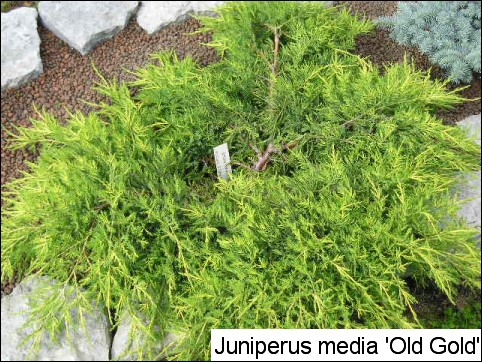 Juniperus x media 'Old Gold'