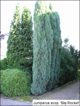 Juniperus scopulorum(J. virginiana) 'Skyrocket'