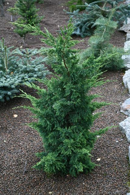 Juniperus chinensis 'Titlis'