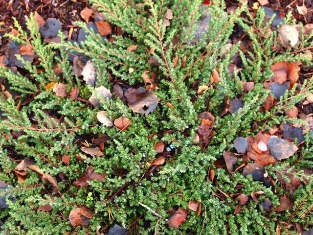 Juniperus communis 'Fair Jole'