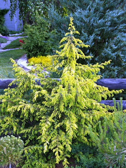 Juniperus communis 'Golden Showers'