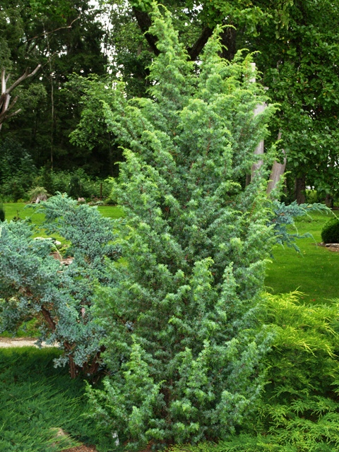 Juniperus communis 'Meyer'