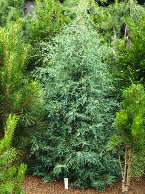 Juniperus scopulorum 'Welchii'