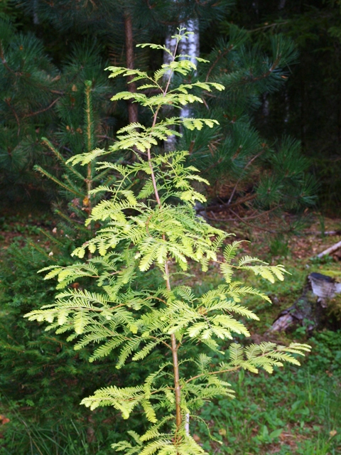 Metasequoia glyptostroboides 'Golden Down'