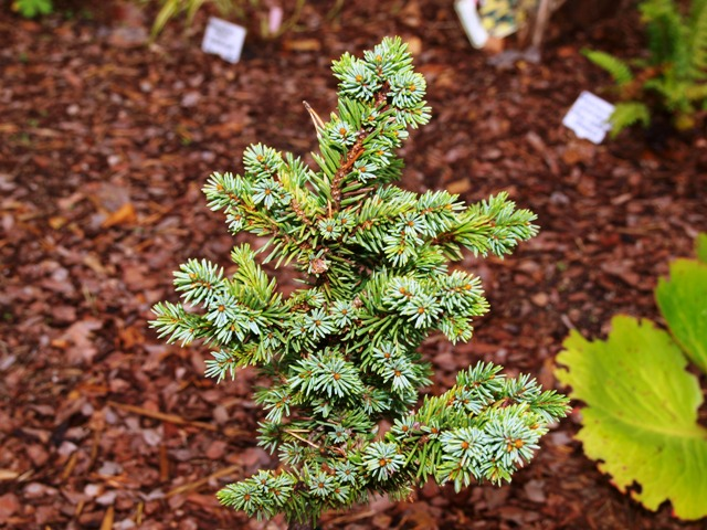 Picea abies 'Golf'