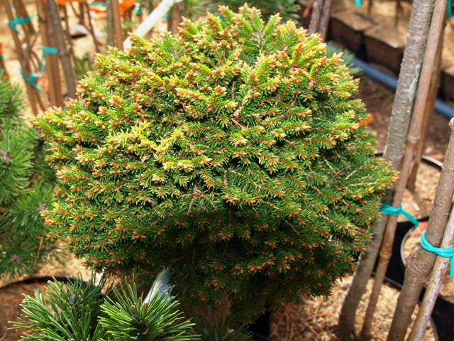 Picea abies 'James Broom'