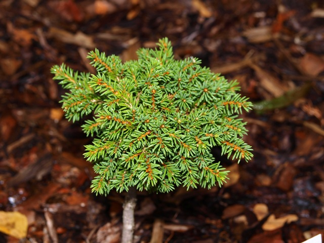 Picea abies 'Witchel'