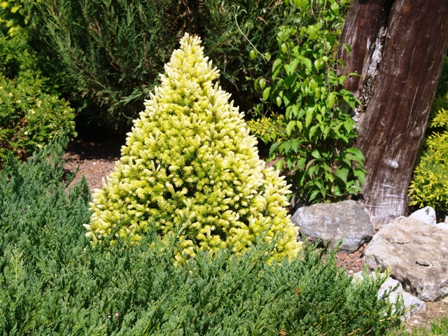Picea glauca 'Conica Yellow'