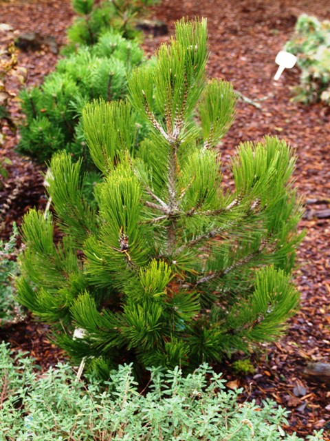 Pinus heldreichii 'Green Brush'