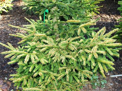 Picea orientalis 'Early Gold'