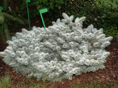 Picea pungens 'Saint Mary's Broom'