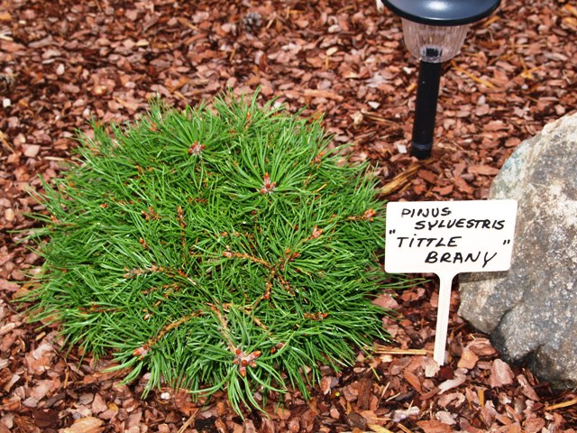 Pinus sylvestris 'Little Brany'
