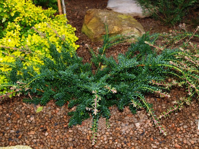 Podocarpus lawrencei 'Blue Gem'