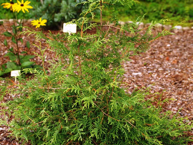 Thuja occidentalis 'Abel Twa'