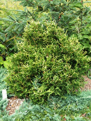 Thuja occidentalis 'Albospica'