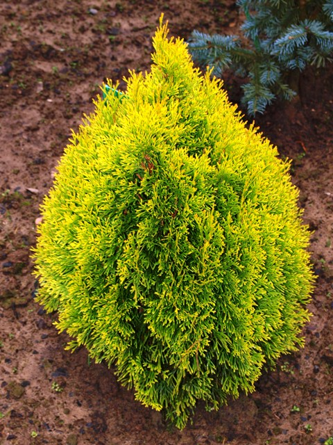 Thuja occidentalis 'Filip's Magic Moment®'