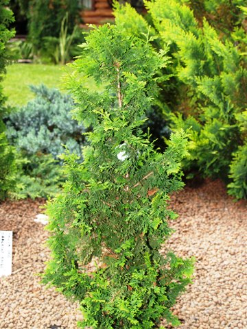 Thuja occidentalis 'Julia'