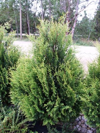 Thuja occidentalis 'Kornik II'