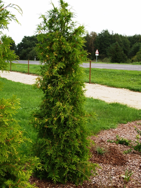 Thuja occidentalis 'Opsterland'