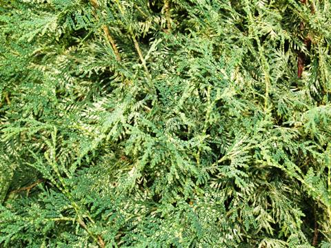 Thuja occidentalis 'Perk Vlaanderen'
