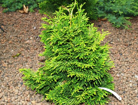 Thuja occidentalis 'Trompenburg'